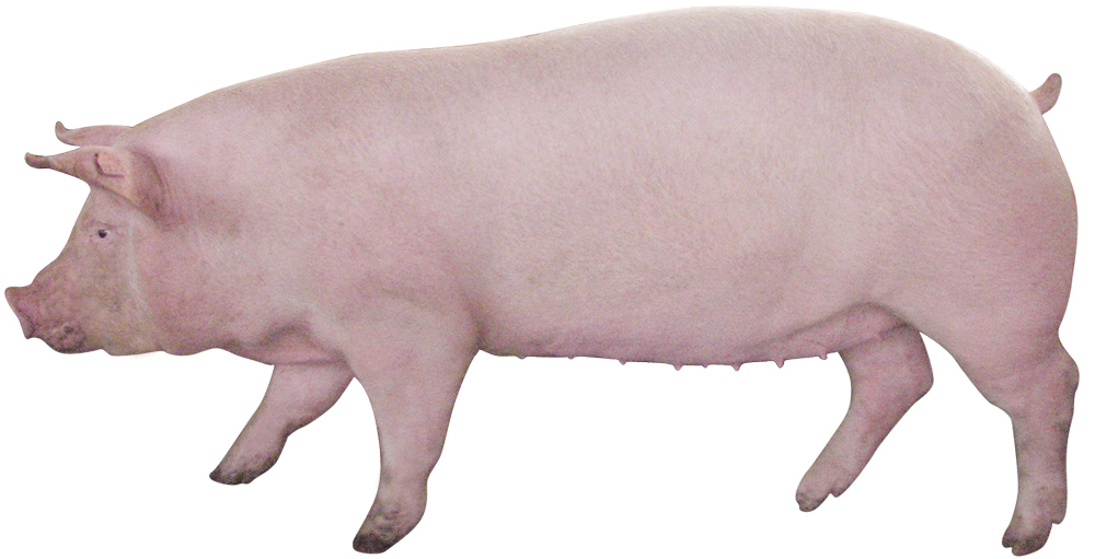 Company news : Keep sows cool this summer by managing rations ...